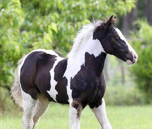 draft-gypsy-vanner-horse
