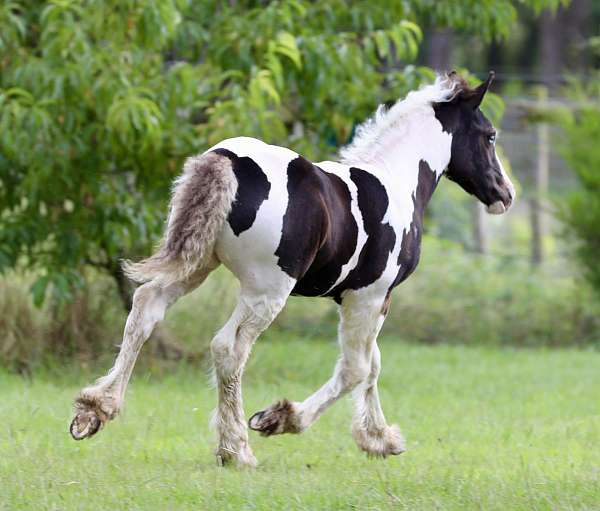 english-pleasure-gypsy-vanner-horse