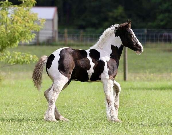 show-gypsy-vanner-horse