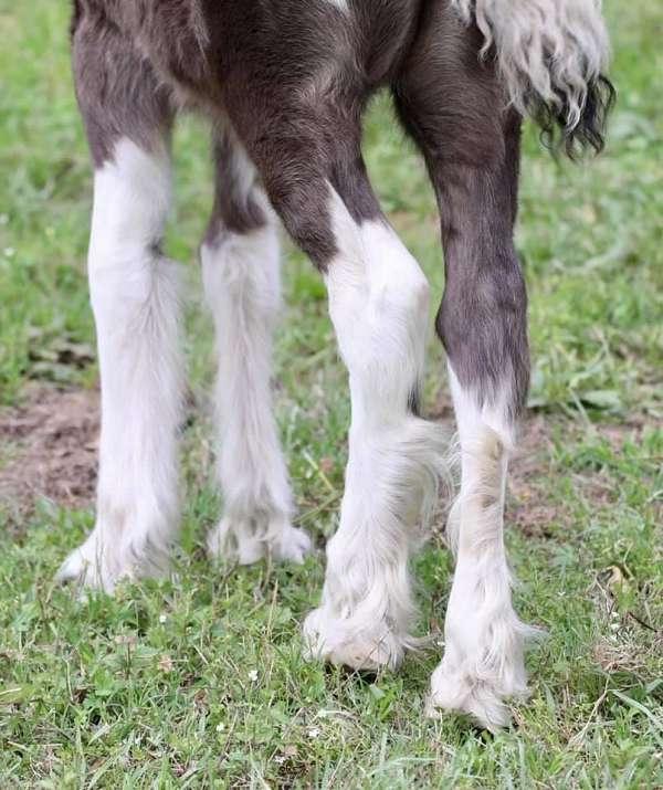 13-hand-piebald-horse