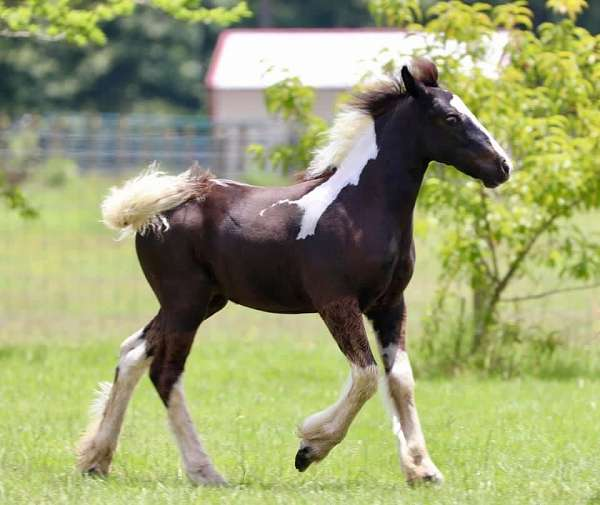 continental-gypsy-vanner-horse