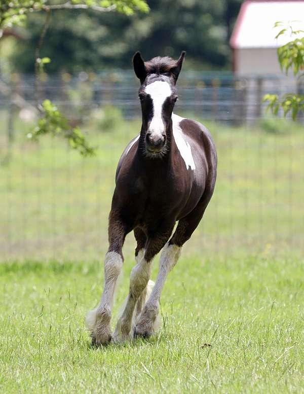 contract-gypsy-vanner-horse