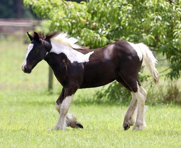 international-gypsy-vanner-horse