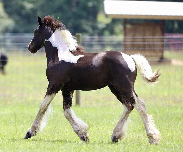 deposit-gypsy-vanner-horse