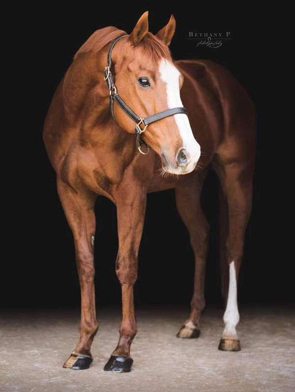thoroughbred-gelding