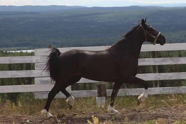 black-welsh-cob-horse