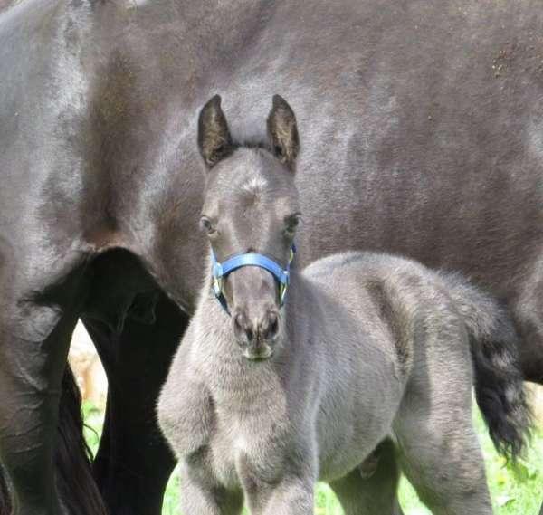 roan-twhbea-stallion