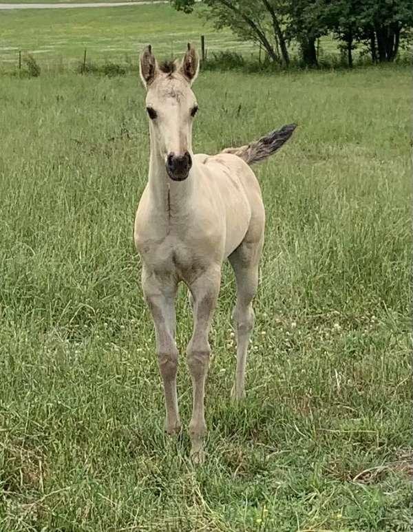 champagne-rabicano-horse