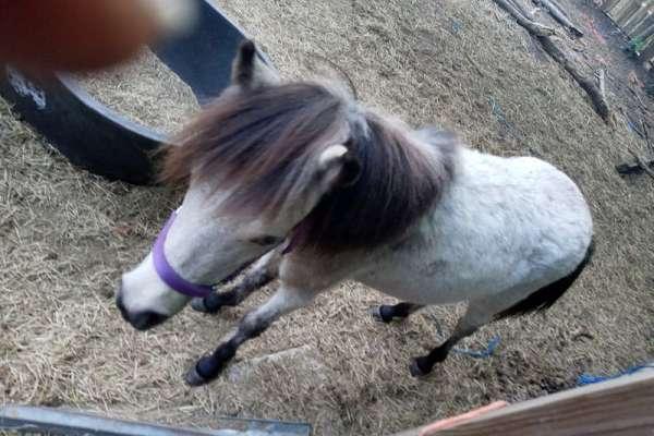 iniature-horse-miniature