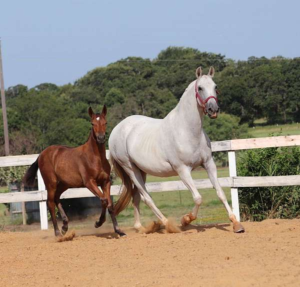 blood-bay-andalusian-horse