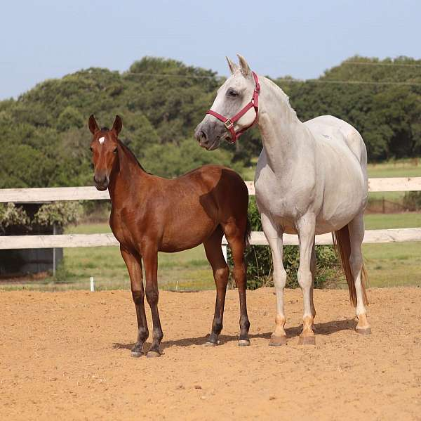 bred-mare-andalusian-horse