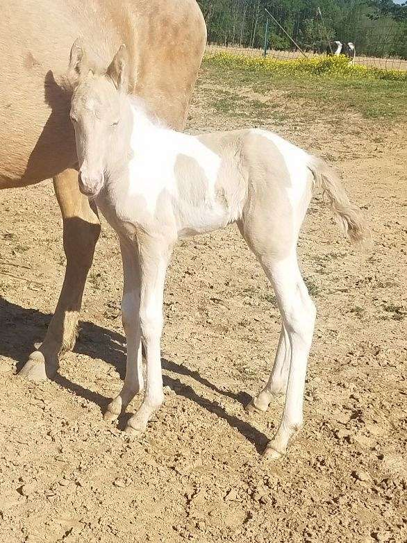 1-hand-tennessee-walking-colt