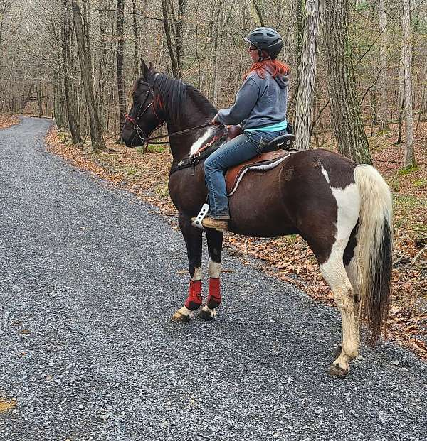 very-willing-tennessee-walking-horse