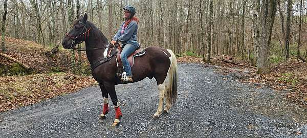 willing-to-please-tennessee-walking-horse