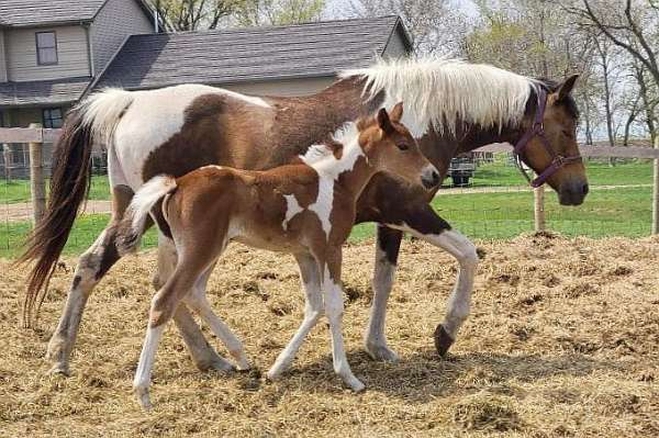 dilute-pinto-horse