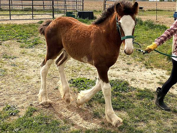 stud-clydesdale-horse