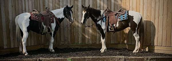 matched-pair-pinto-horse