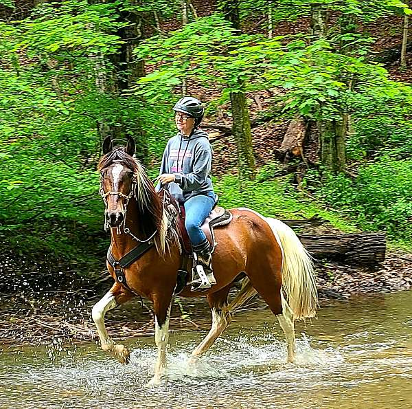 tennessee-walking-horse-for-sale-in-va-spotted-saddle