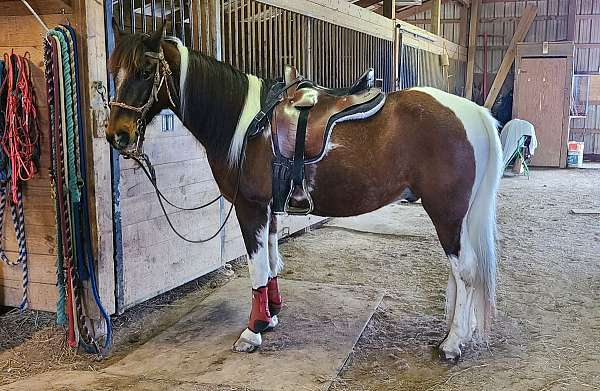 trail-horse-for-sale-in-va-spotted-saddle