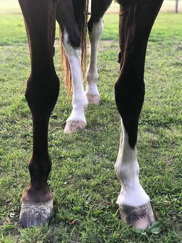 clinic-tennessee-walking-horse