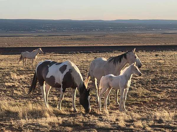 tobiano-likely-carries-dun-horse
