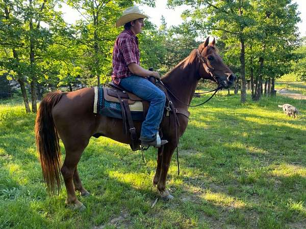 gaited-tennessee-walking-horse