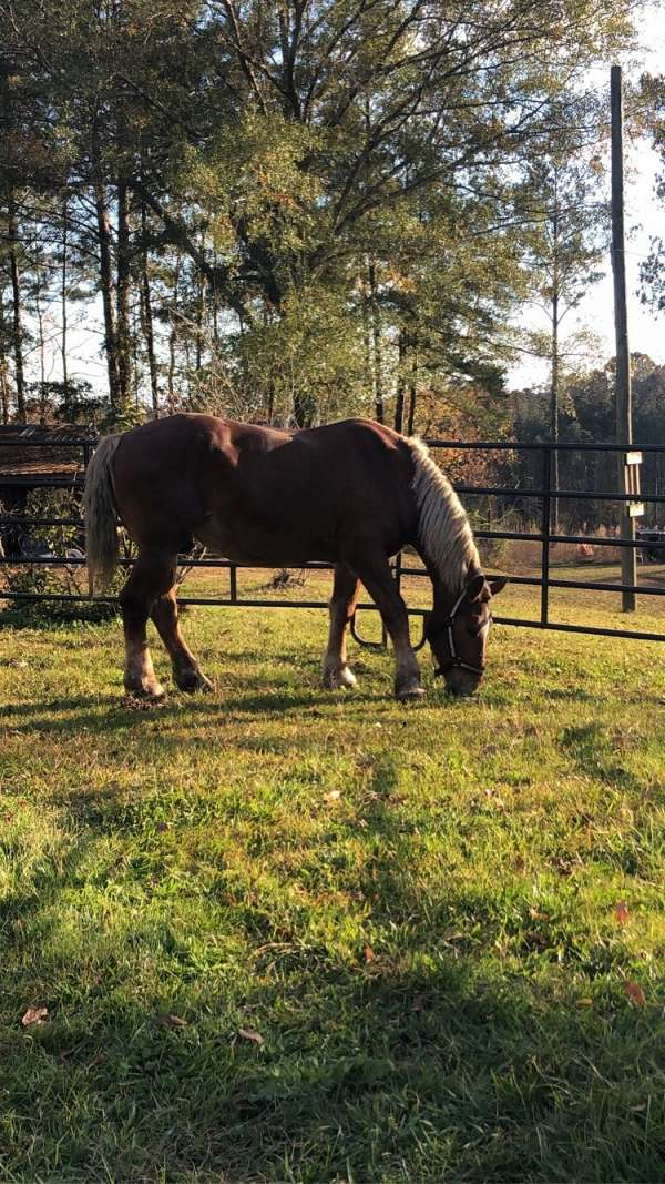 belgian-horse-for-sale
