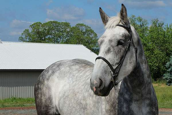 for-sale-draft-horse