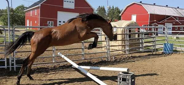 bay-canadian-foal