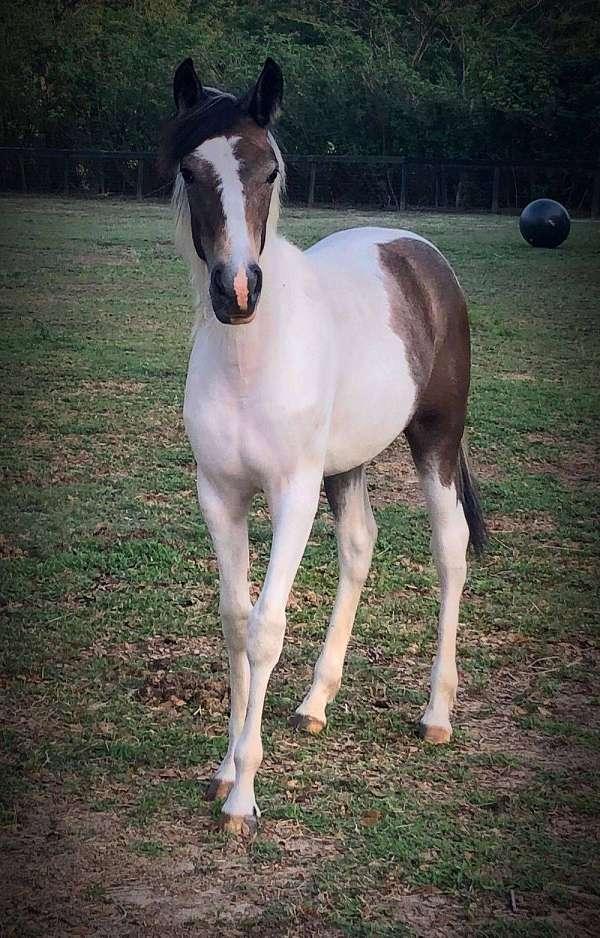 tobiano-gray-horse