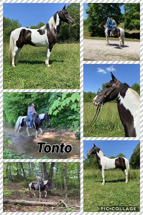 geldings-for-sale-spotted-saddle-horse