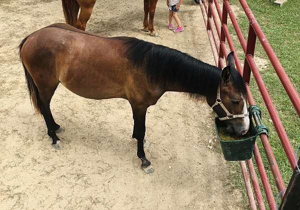 bay-dun-colt-yearling-for-sale