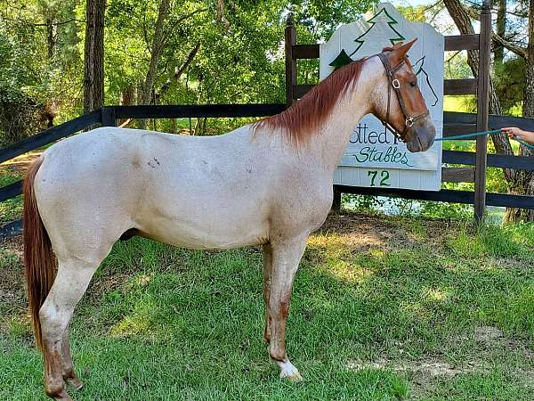 red-roan-roan-field-trial-started-under-saddle-horse