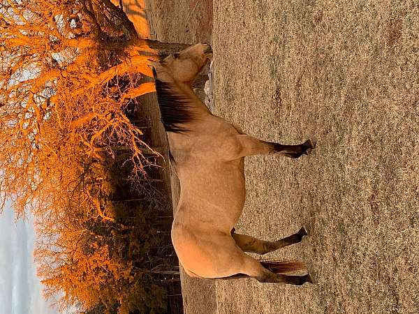 can-handle-larger-riders-gelding