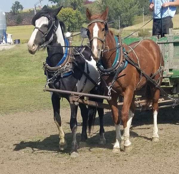 4-high-stockings-blaze-overo-belly-spot-horse