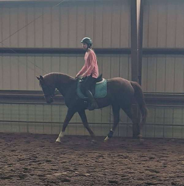trained-anglo-arabian-horse