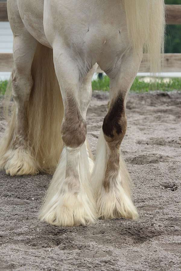 bay-gypsy-vanner-palomino-for-sale