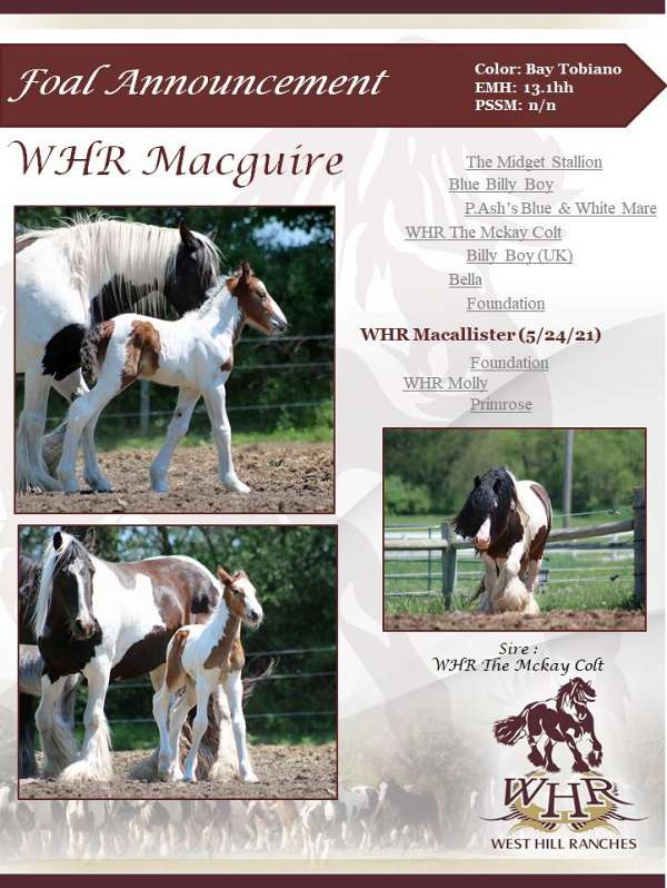 whr-gypsy-horses-for-sale