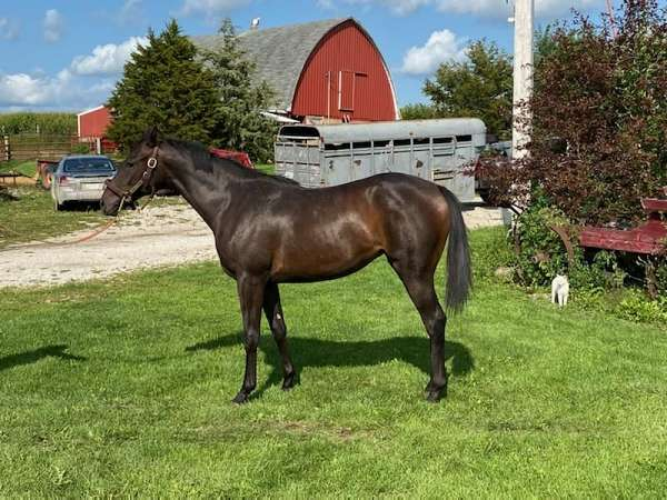 bay-thoroughbred-filly