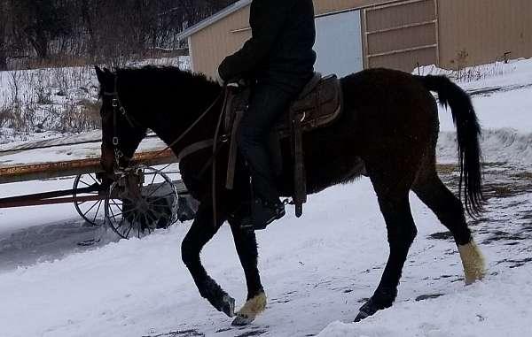 gelding-bashkir-curly-horse