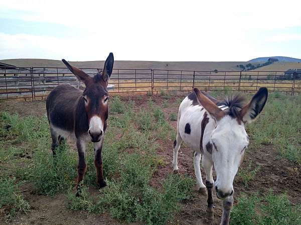 brown-mare-for-sale