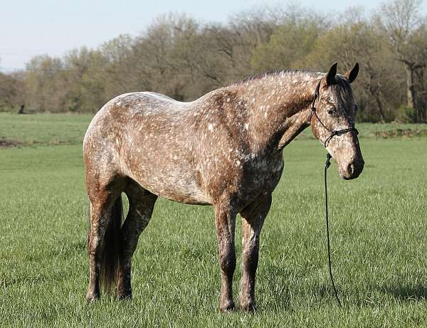 cross-friesian-spotted-horse