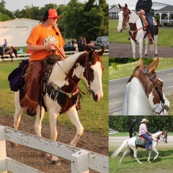 trail-class-competition-spotted-saddle-pony