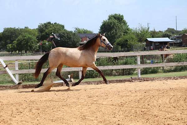 champion-andalusian-horse