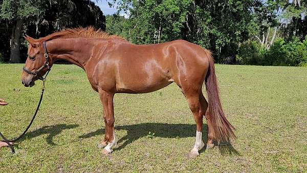 welsh-pony-mare