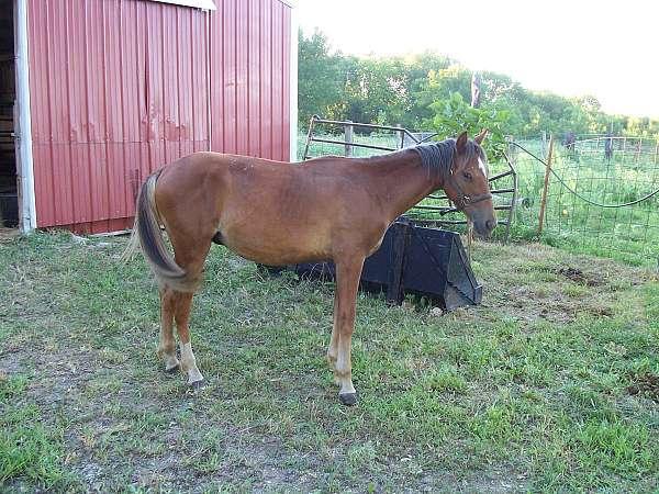 chestnut-welsh-pony-colt