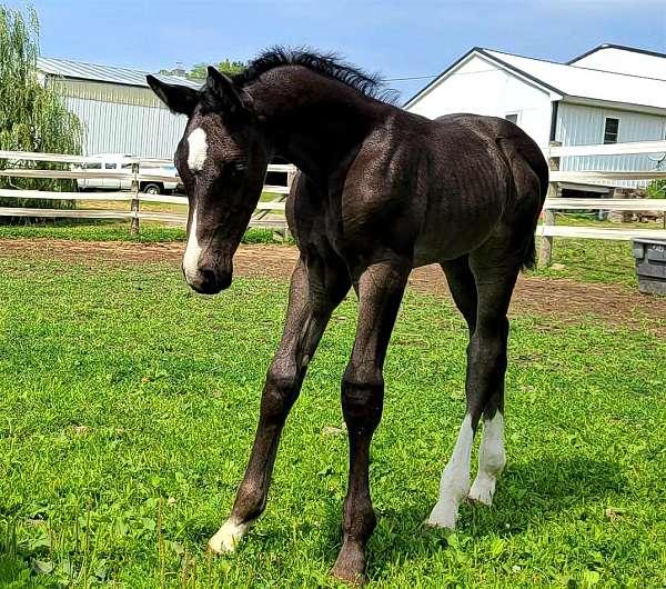 irregular-star-snip-3-socks-horse