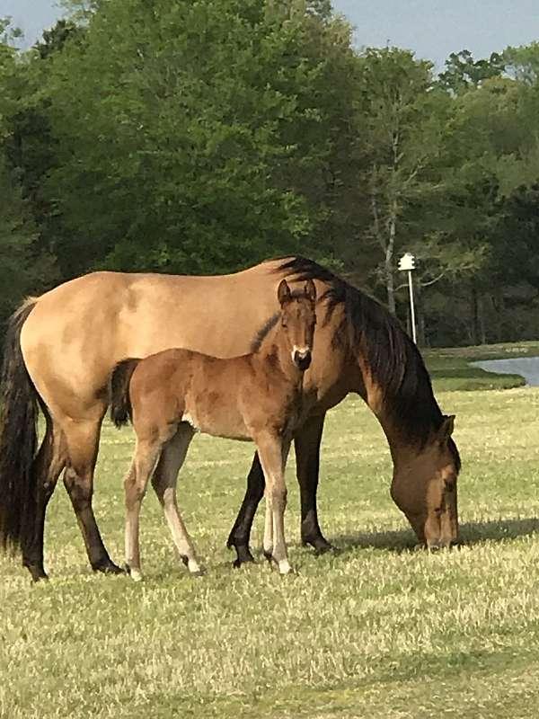 quarter-horse-broodmare