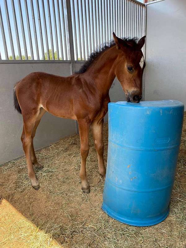 iberian-horse-for-sale
