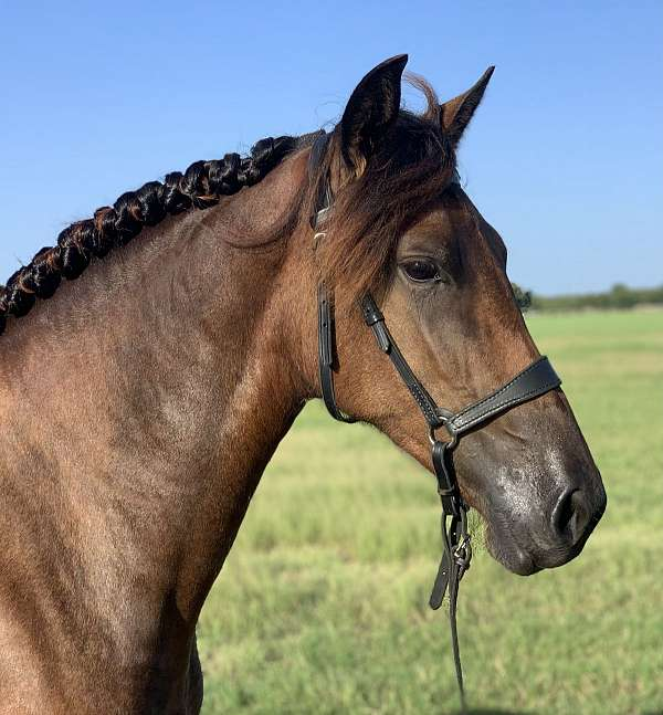 draft-andalusian-pony